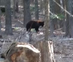 Campting Bear